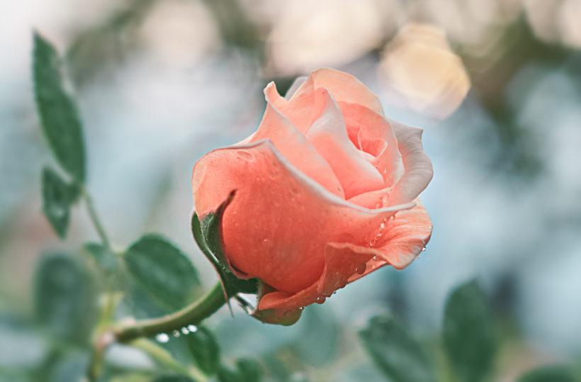 bienfaits de la rose