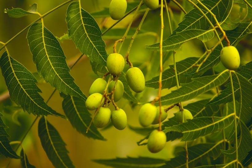 L'huile de neem : Tout savoir sur les bienfaits de cette huile sacrée